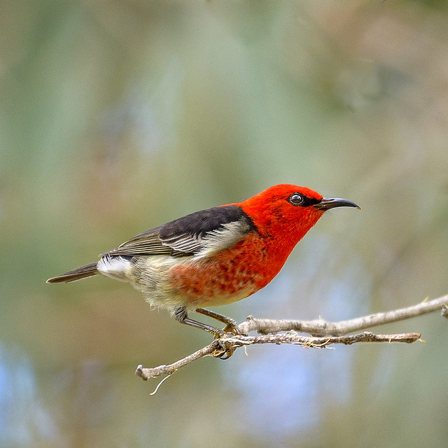 small bird series: ♂ scarlet honyeater