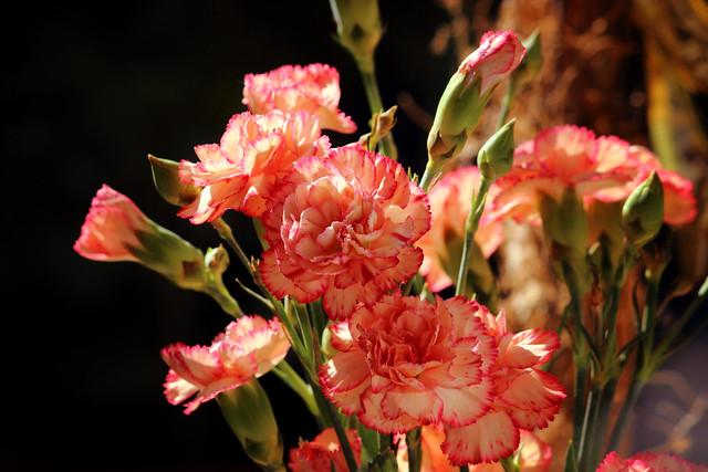Die Nelken (Dianthus), Cẩm chướng