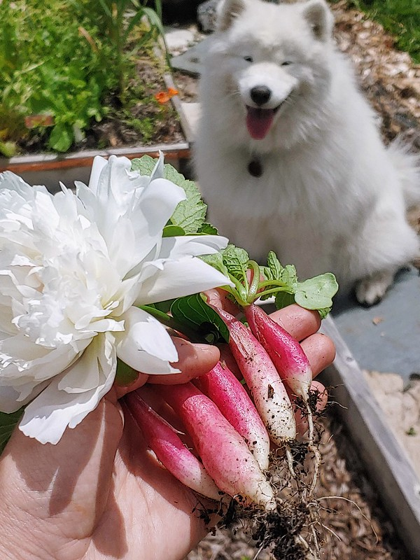 Radish Harvest (~4 weeks)