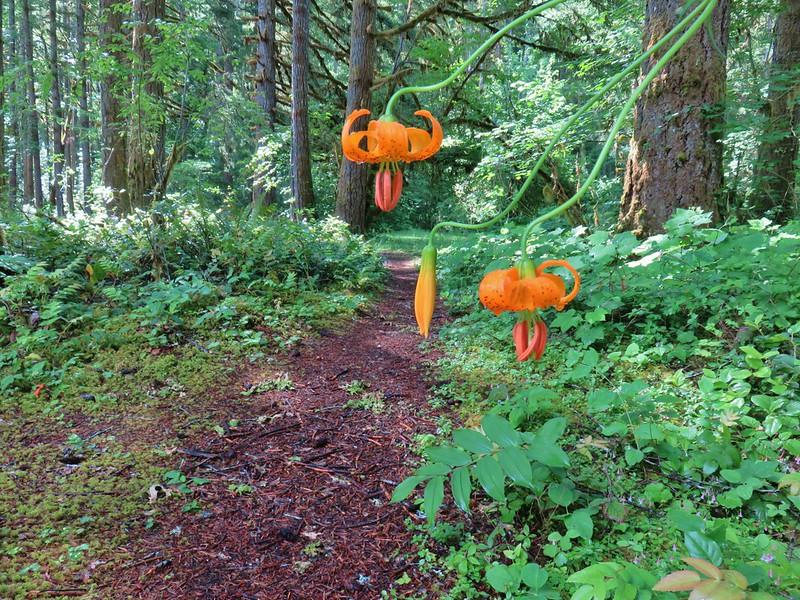 Tiger lilies along the Swordfern Trail