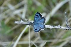 Large Blue 7