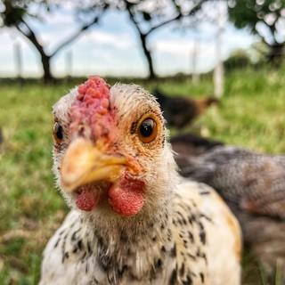 De kippen van Boerencompagnie Heverlee