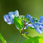 紫陽花 Hydrangea