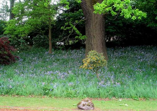 bluebells , Balbirnie, Fife