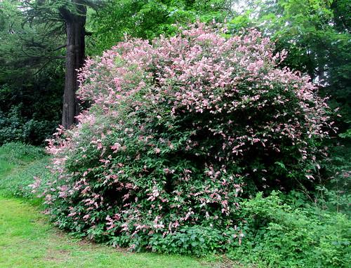 Balbirnie shrub