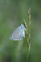 Large Blue 2