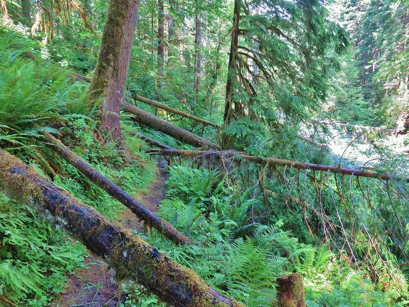 Blowdown over the Swordfern Trail