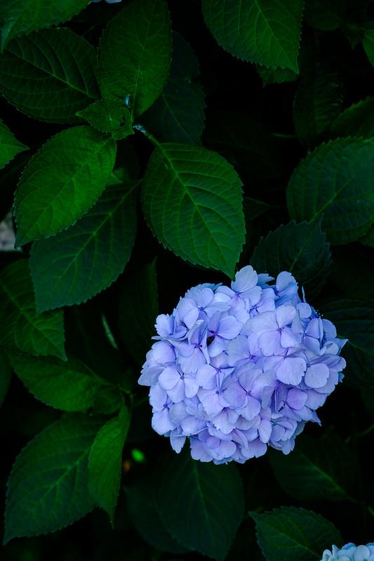Hydrangea (長久寺)