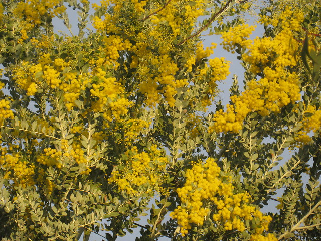A Golden Acacia in the Afternoon Light