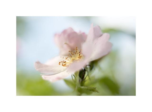 A Pink Dog Rose..