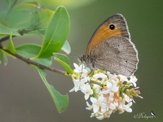 Le myrtil (Maniola jurtina) sur une fleur de troène