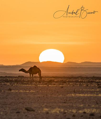 chad chadviajesáfrica camello camel desierto desert ennedi sunset atardecer sol sun africa viaje travel paisaje landscape