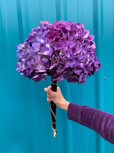 Purple Hydrangea | by Oregon Coastal Flowers