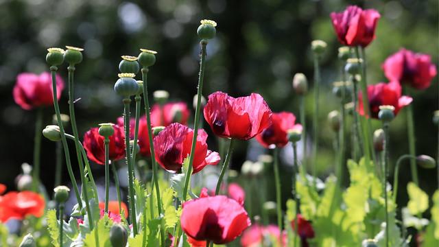 Poppy Glory. :  seen in Hortus  Botanicus Alkmaar- Holland