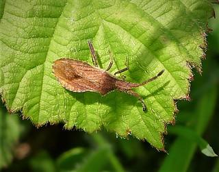 Coriomeris denticulatus Denticulate Leatherbug
