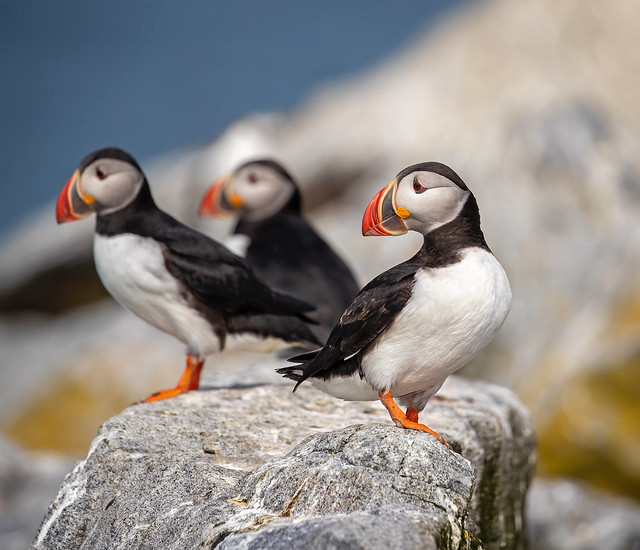 Puffin Party...