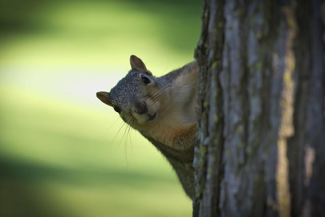 Squirrel, Cantigny Park. 88 (EOS)