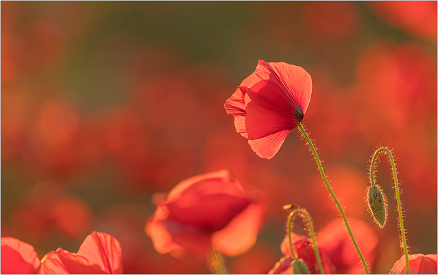 Poppies in backlight