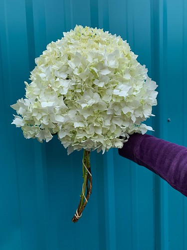 White Hydrangea | by Oregon Coastal Flowers
