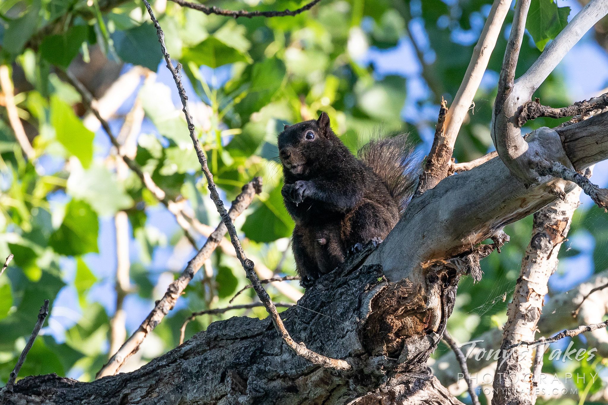 A black squirrel hangs out in a tree in a suburban park. (© Tony's Takes)