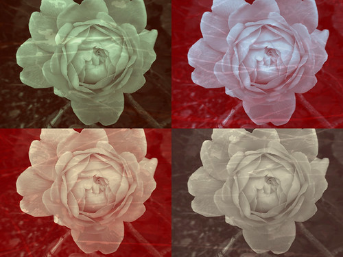 Rose Times Four in Pixlromatic