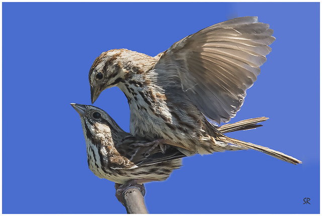 Sparrows mating.