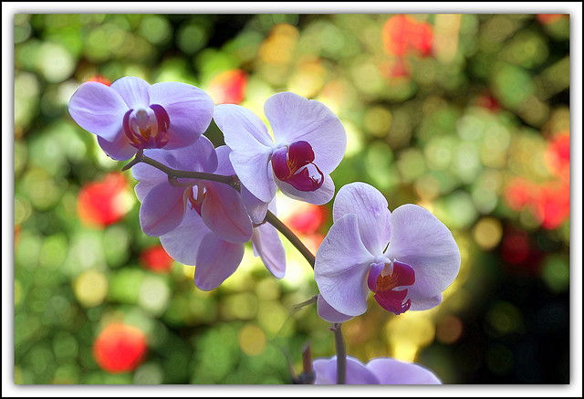 Flower Of The Day - Orchid in my Conservatory