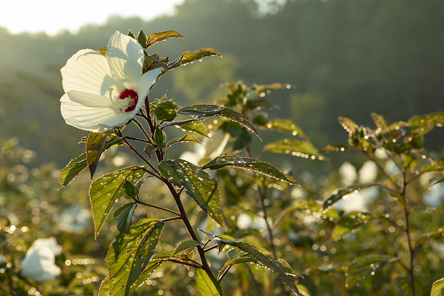 Swamp rose-mallow (Hibiscus moscheutos)