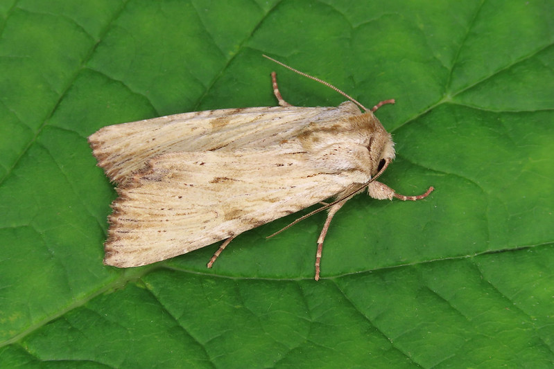 73.163 Light Arches - Apamea lithoxylaea