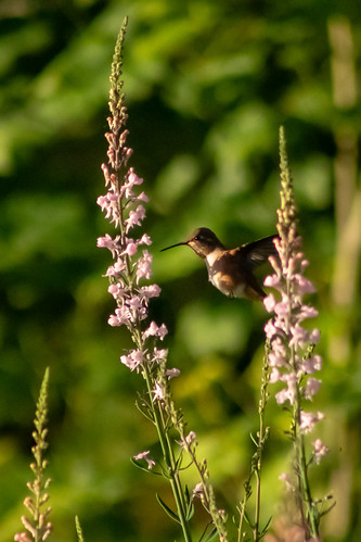 rufoushummingbird selasphorusrufus bird hummingbird sunrise oregon rainieroregon spring