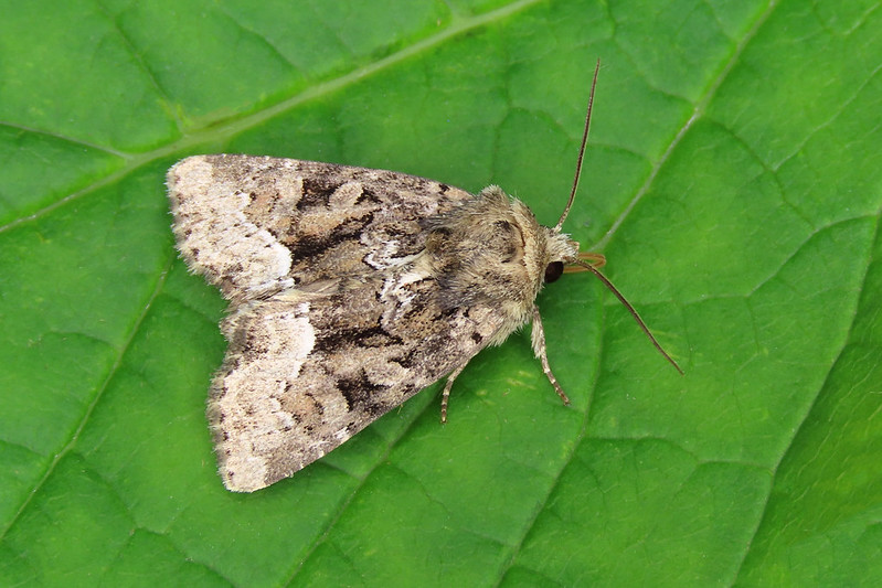 73.173 Marbled Minor agg. - Oligia strigilis agg.