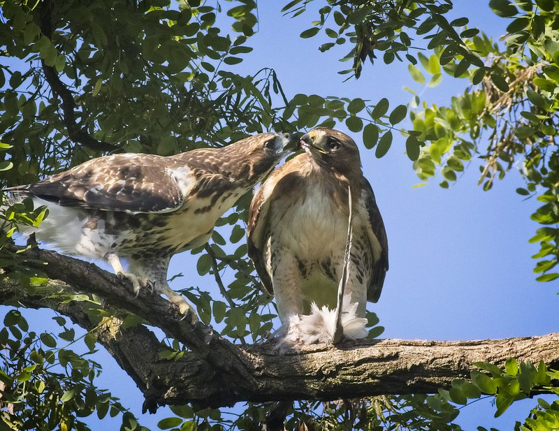 Tompkins fledgling sharing a pigeon with mom