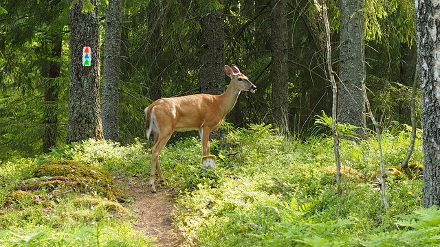 White-tailed Deer on Mtb path
