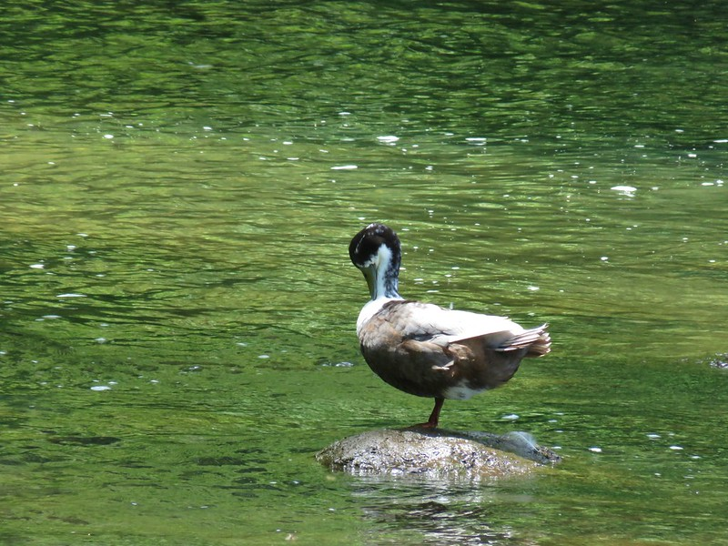 Duck at Milo McIver State Park