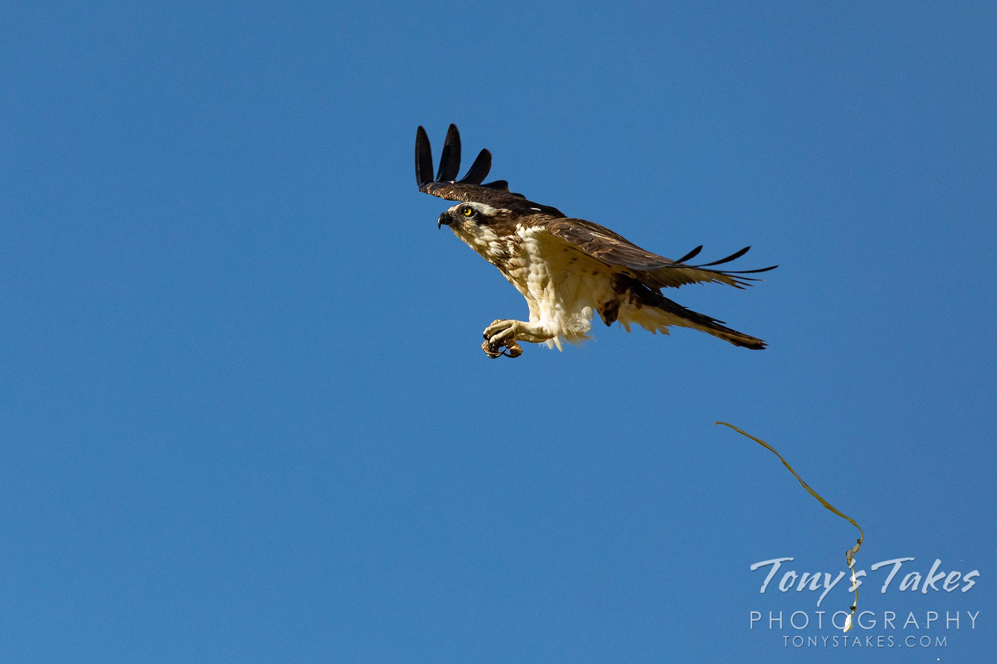 A female osprey