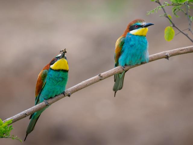 Bee-eating Bee-eater