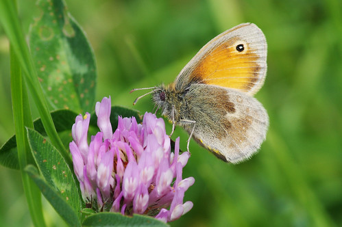cambridgeshire coenonymphapamphilus butterfly insect nature smallheath wild wildlife woodwaltonmarsh