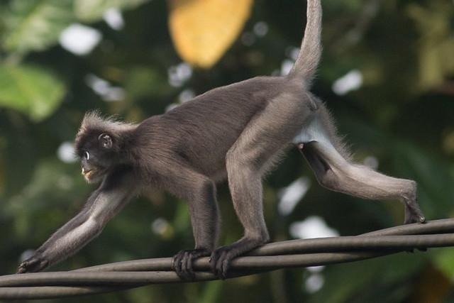 Dusky Leaf Monkey - male