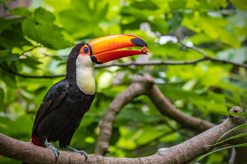 Toco Toucan (Ramphastos toco) in the Parker Aviary at the San Diego Zoo (6-18-2020)