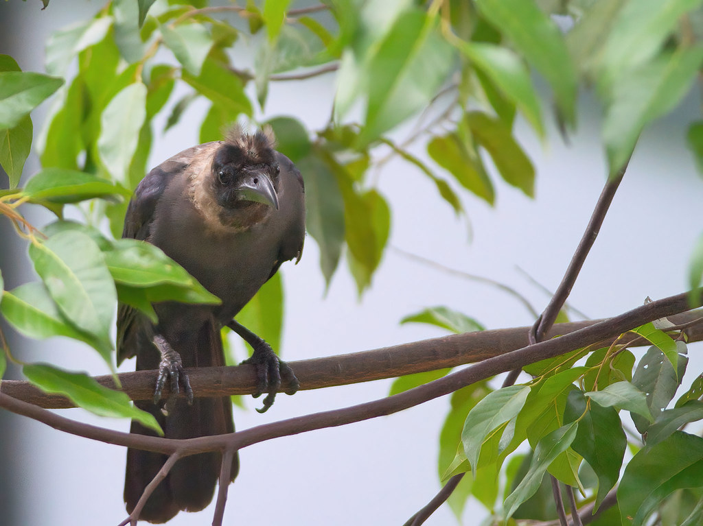 house crow juvenile - Corvus splendens