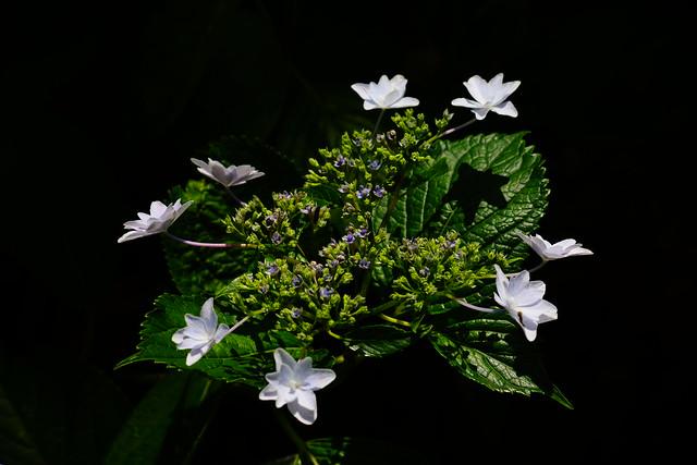 紫陽花-12 Hydrangea macrophylla 春過ぎて 夏来たるらし💙 Spring is over, Summer is coming-24
