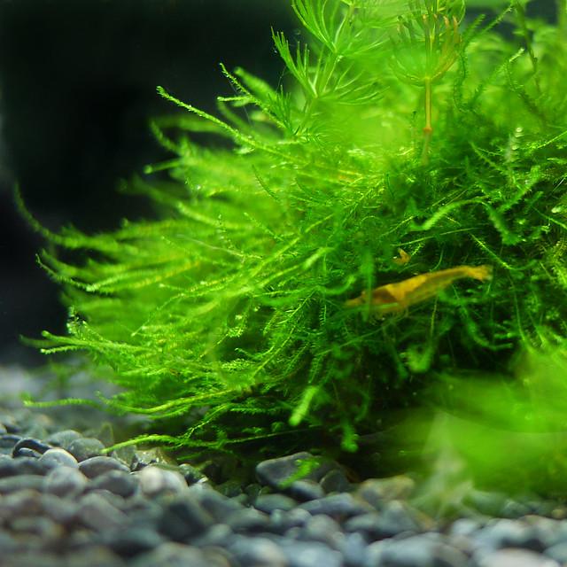 ビオトープ 苔 ウィローモス 水生コケ Aquarium Moss Fontinalis