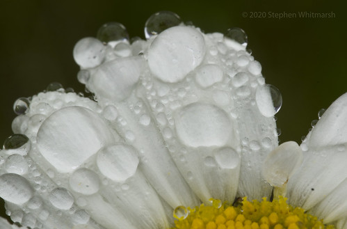 macro closeup water drip nature flower flowers white yellow daisy topic