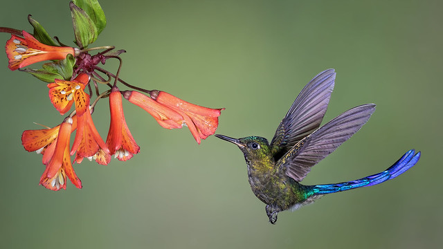 Violet-tailed Sylph-5158