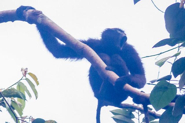Agile Gibbon