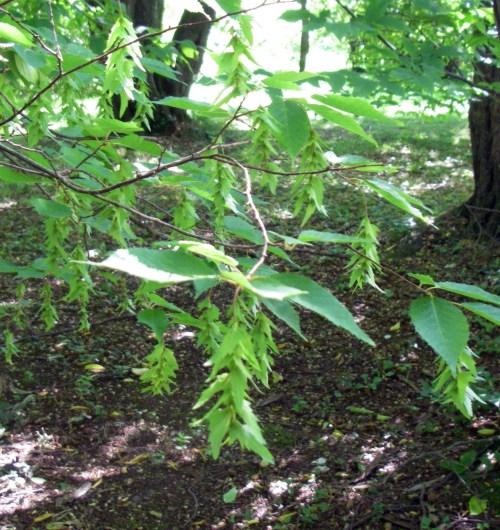 Carpinus laxiflora 50021980917_aa8fc97513_o