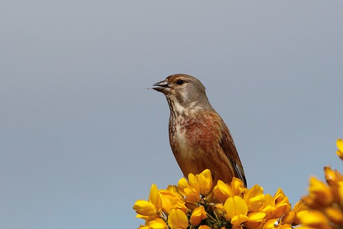 Linnet - Linaria cannabina | by Chris B@rlow