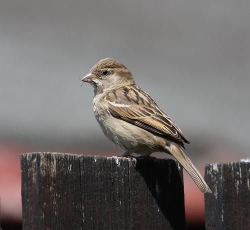 Female House Sparrow | by themadbirdlady