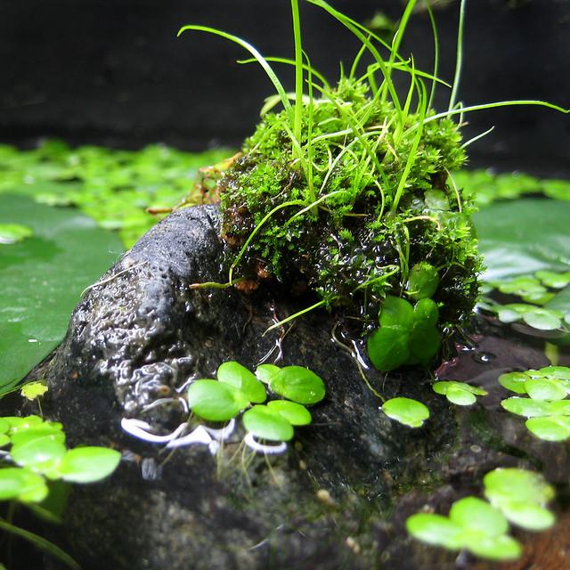 ビオトープ 苔 ウィローモス 水生コケ Aquarium Moss
