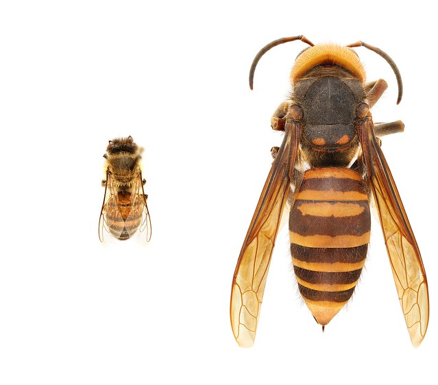 Protecting Pollinators from A New Threat – First-Ever U.S. Sightings of Asian Giant Hornet – News Release